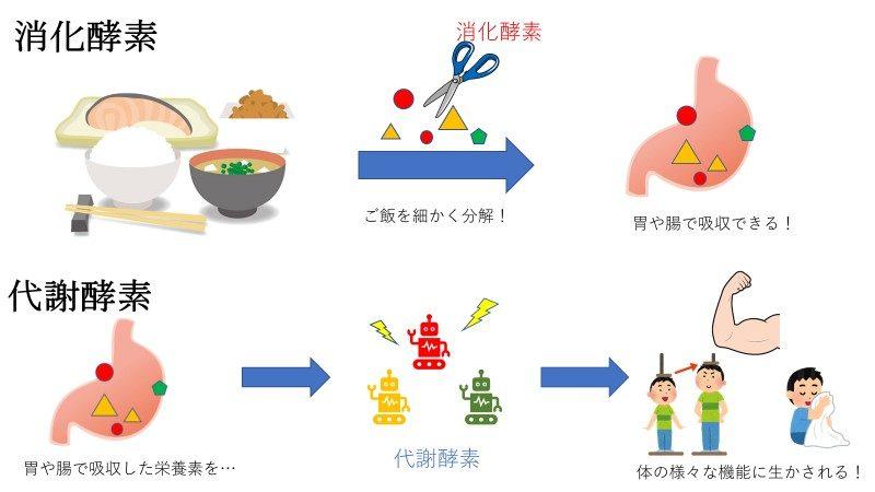 消化酵素と代謝酵素