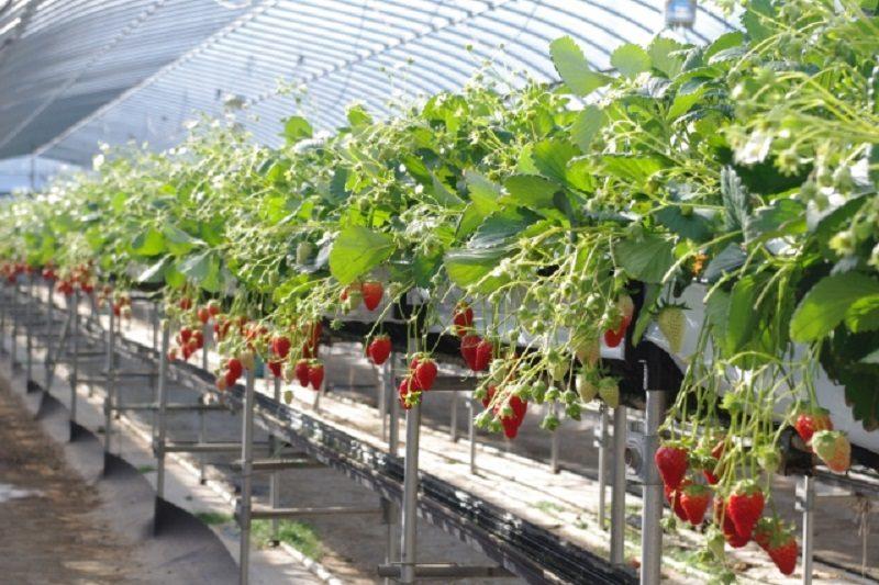 苺の育て方