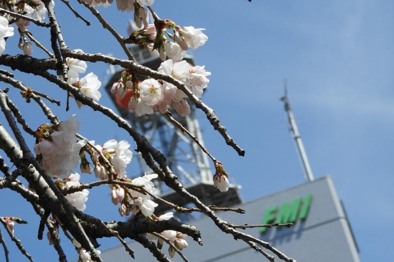 春到来!桜を愛でる山遊びと花見酒のはなし