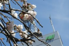 TOP 桜